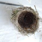 2016年6月22日 スズメの巣を発見!!