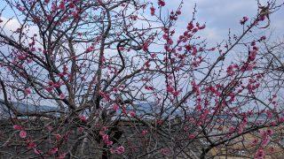 梅が咲き、靴を買い、速攻ブルーベリー(´・ω・`)