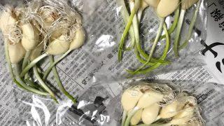 ミヤハラ農園のスプラウトにんにく鉄子を天ぷらで食らう【今度は30本】